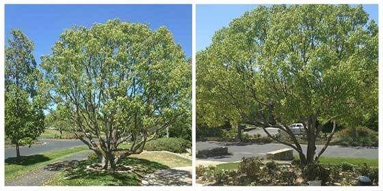 san-diego-tree-lacing-tree-shaping